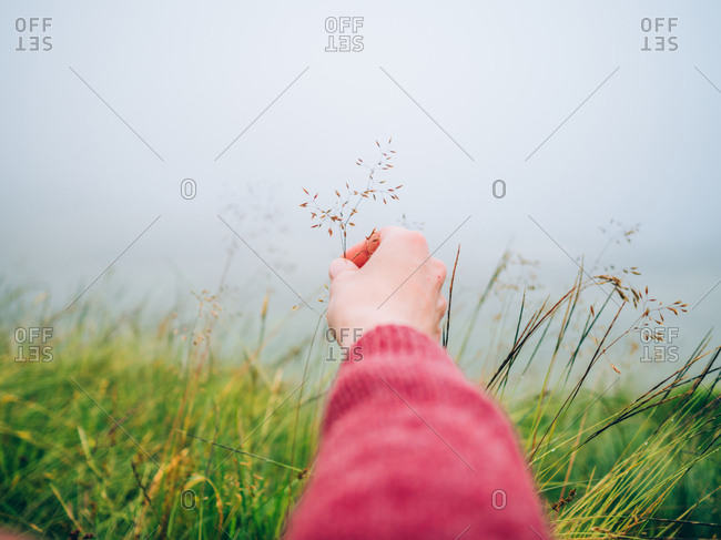 Hand of person with a dried grass in the foggy field.
