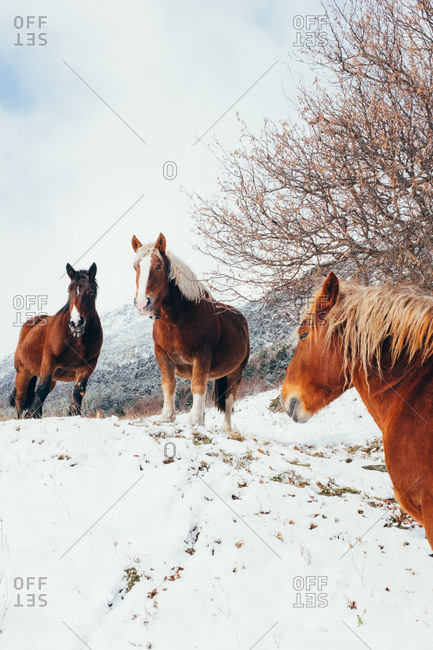 Three wild horses standing on white snowed field with leafless trees on cloudy sky in Pyrenees mountains.