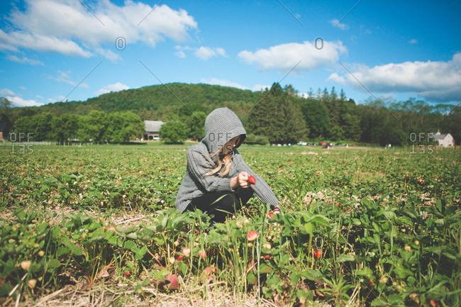 Little girl in a hooded sweatshirt picking strawberries in a field