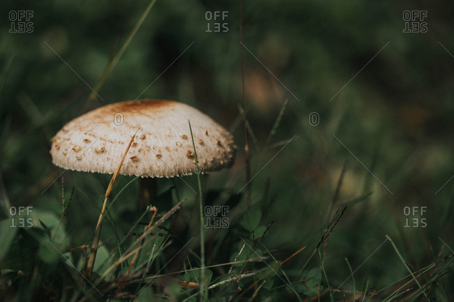 Single mushroom growing among blades of grass