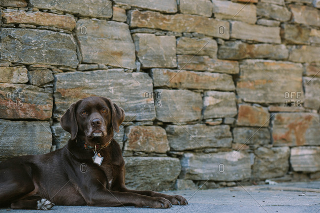 Brown dog lying in front of a stone wall
