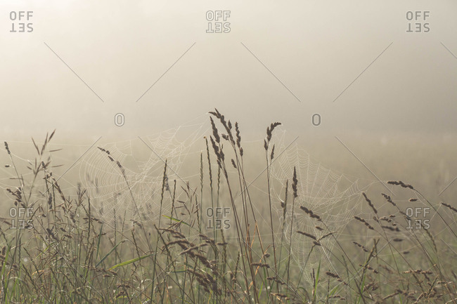 Spider webs and tall grass in a foggy field