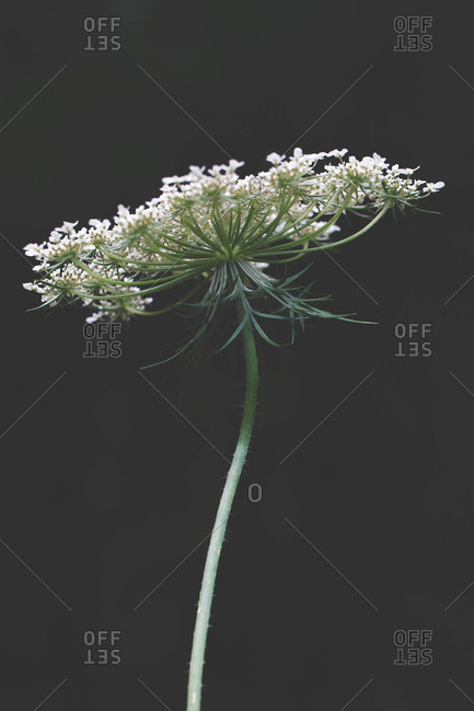Single flower with delicate white petals