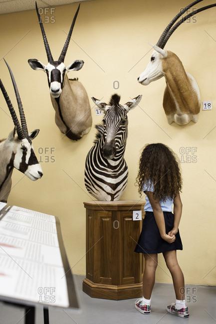 Student examining stuffed zebra in museum