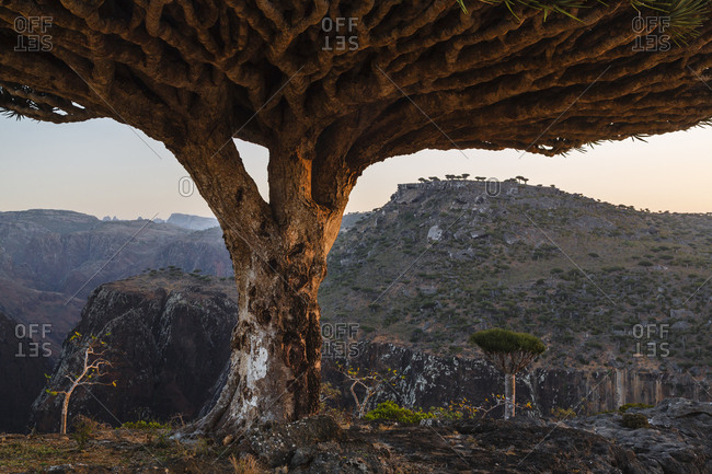 Dragon's blood trees growing in arid landscape