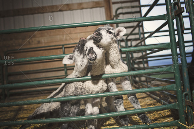 Lambs huddling together in barn