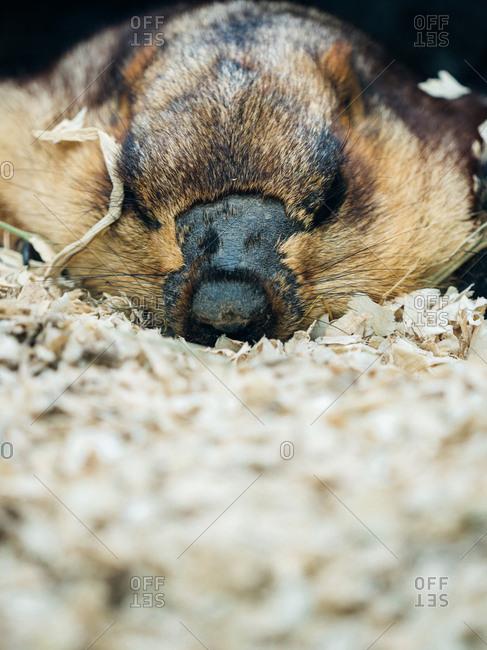 Close up of a marmot