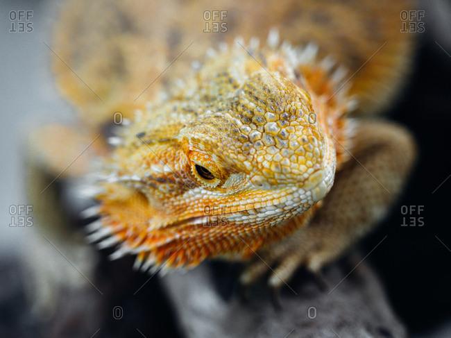Portrait of Baard game pogona vitticeps lizard