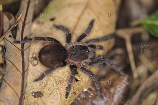 Peru- Manu National Park- Peruvian tarantula