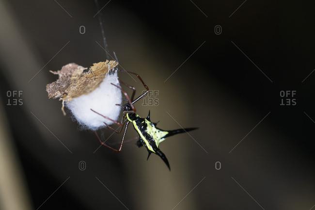 Peru- Manu National Park- Thorn orb weaver