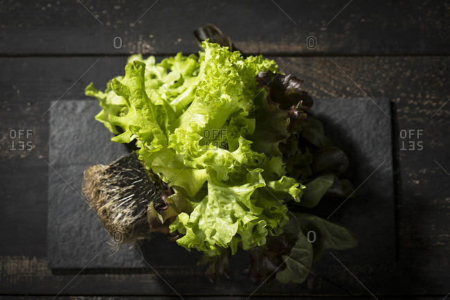 Head of lettuce with roots