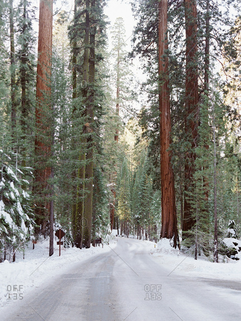 Frozen road in a forest of tall evergreen trees