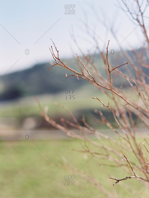 Close-up of thin brown branches on a bush in a field