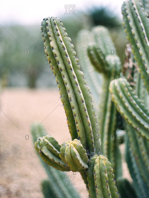 Branches of a large, green cactus plant