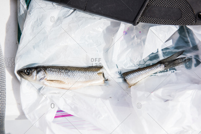 August 10, 2015: Minnow cut in two to be used for fishing bait