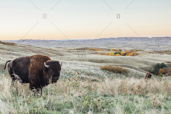American bison standing on field against clear sky