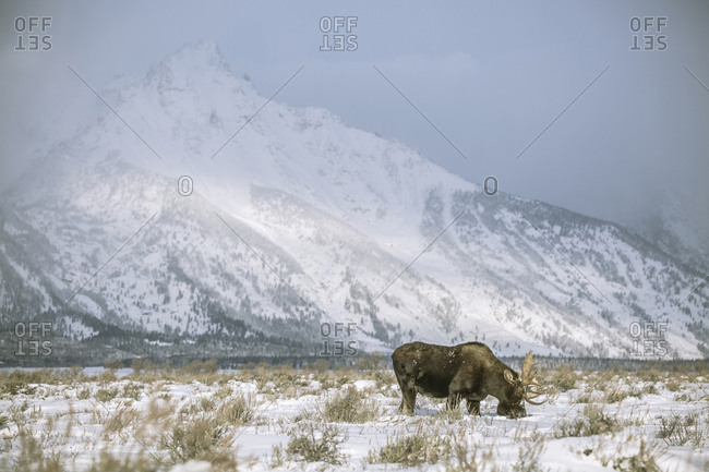 Moose grazing on snow covered field against mountain