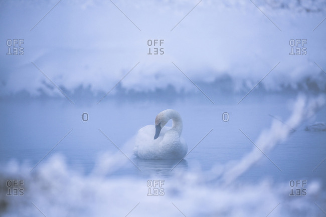 Swan in lake during foggy weather