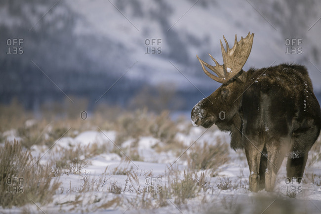 Moose standing snow covered field against mountain