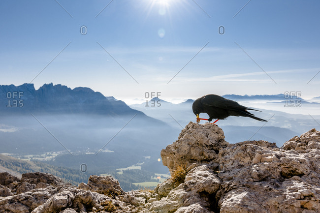 Italy- South Tyrol- Rosengarten- Schwarzhorn- Weisshorn and Alpine chough
