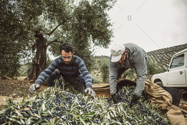 Spain- two men filling buckets with harvested black olives