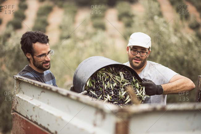 Spain- two men throwing harvested black olives into trailer