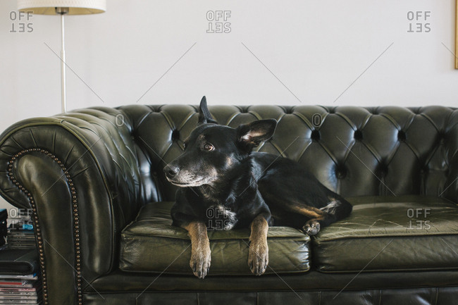 Portrait of dog lying on leather couch