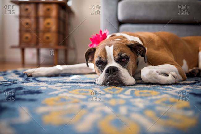 Tired dog wearing flower decoration