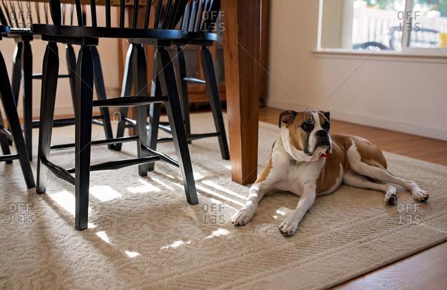 Alert dog lying on floor