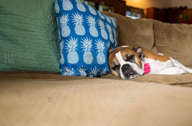 Dog napping on a couch