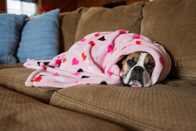 Dog wrapped in blanket on couch