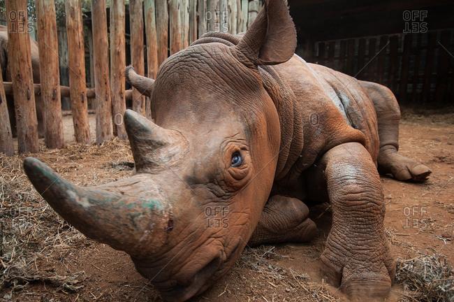 Orphan rhino in rescue shelter, Nairobi, Kenya