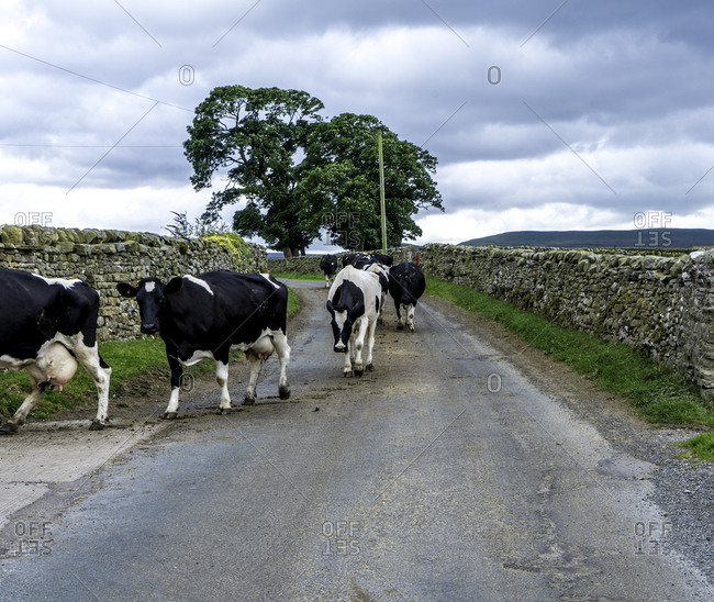 Cattle walking on country road in the Yorkshire Dales