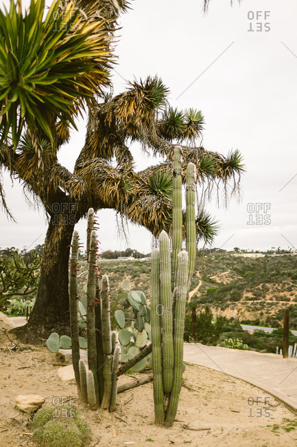 Yucca tree and tall cacti growing in a garden