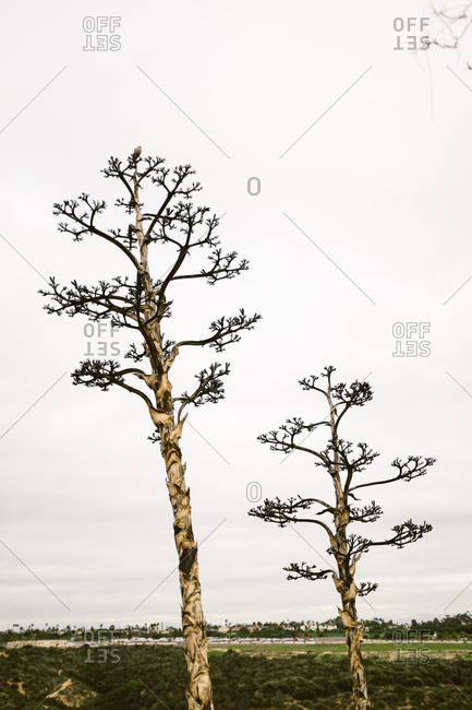 Two tall yucca trees rising above a field