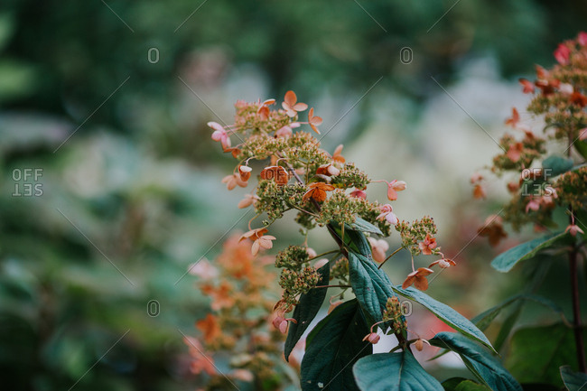 Delicate pink flowers on a green leafy bush