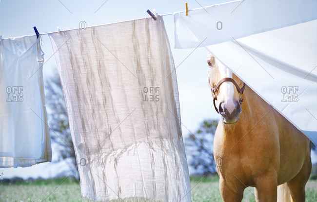 Horse standing  at the clothes rope with drying linen