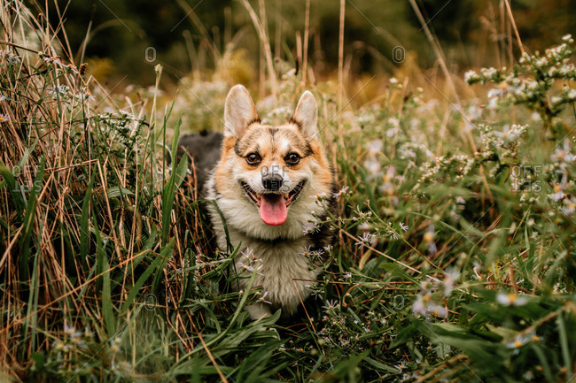 Pembroke Welsh Corgi walking through a field of tall weeds