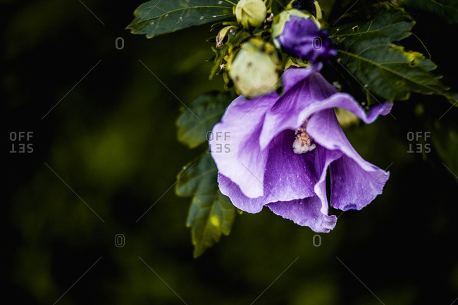 Purple rose of Sharon bloom on a branch