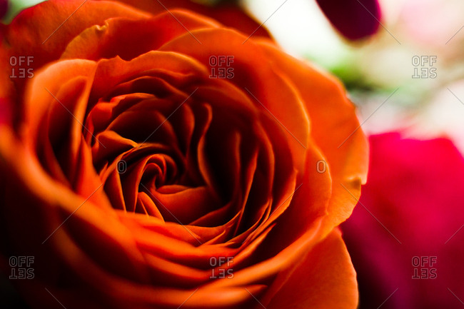 Close-up of petals of an orange rose blossom