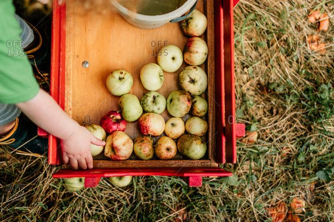 Boy putting apples in a red wagon