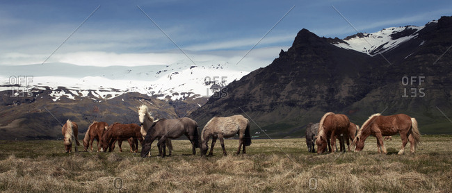 Icelandic horses grazing in a valley below mountains