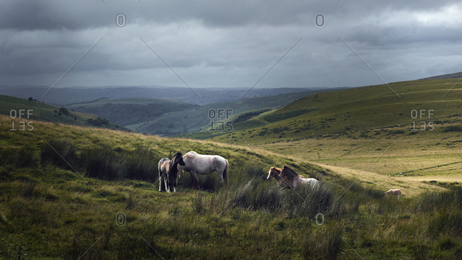 Horses on a hillside with sheep in the Black Mountains, Wales