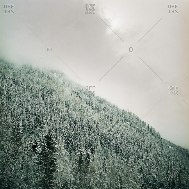 Snow-covered pine trees on foggy slope