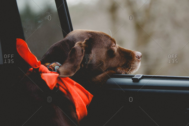Chocolate lab riding in car looking out the window