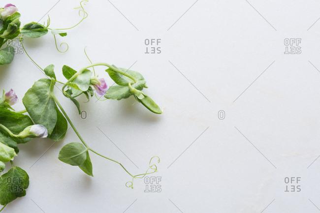 Fresh flowering spring peapod
