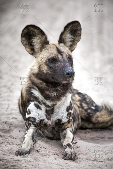 Resting painted dog in Botswana