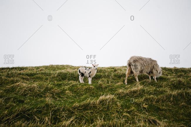 Baby lamb grazes by mother, Faroe Islands