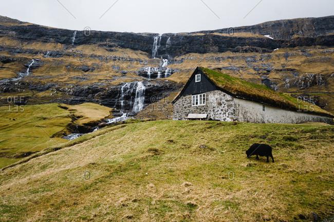 Sheep grazing in front of waterfall, saksun, Faroe Islands