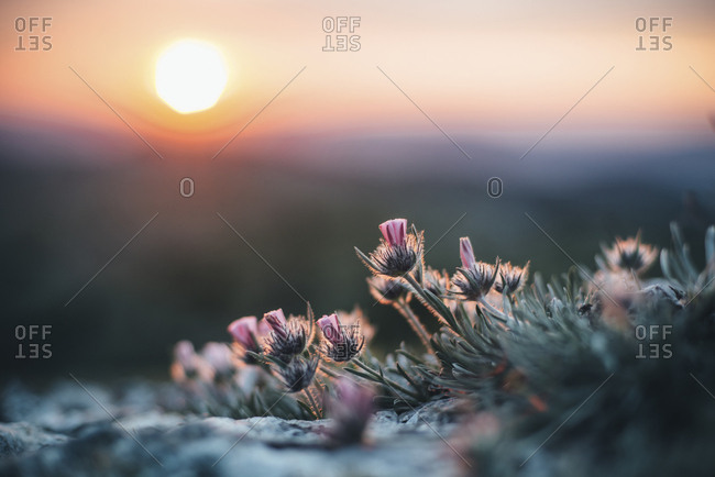 Close up of flowers at sunset